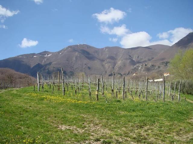 Vigna di Fiano a Summonte (AV)